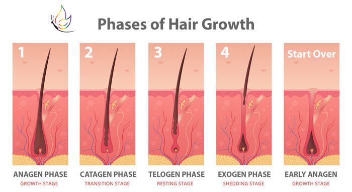 phases-of-hair-growth 2
